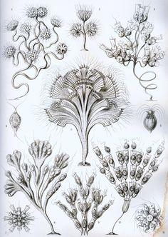 Stock Graphics Free Vintage Posters Ernst Haeckel Kunstformen Natur 100 Plates Artforms of Nature Circa 1904 Art And Illustration, Vintage Illustrations, Art Vintage, Vintage Posters, Psychedelic Design, Ernst Haeckel Art, Art Et Nature, Impressions Botaniques, Natural Form Art