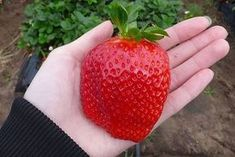 Big Strawberry Seed Cherry Berry Fruit Vegetable Seeds Rare Color Big Strawberry Seed Cherry Berry Fruit and Vegetable Seeds For Home Garden Plantiing Fragaria ananassa Duch Giant Strawberry, Strawberry Seed, Strawberry Plants, Growing Raspberries, Fruit Seeds, Beautiful Fruits, Beautiful Flowers, Exotic Fruit, Agriculture