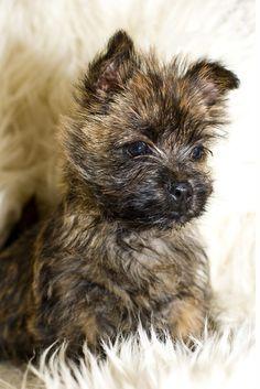 Cairn Terriër - puppy