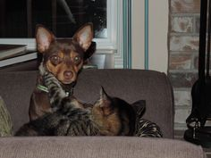 Tinker, our Rat Terrier pup, is attempting to sleep with our older cat, Missy.