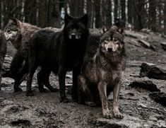 Wolf pack | The North Realm