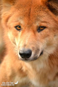 Magical Nature Tour — Golden dingo by Allerlei Australian Dog Breeds, Plague Dogs, Animals And Pets, Cute Animals, African Wild Dog, Australia Animals, Wild Dogs, My Animal, Animals Beautiful