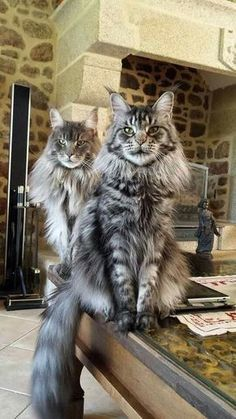 Maine Coon cats are well-known as the gentle giants. Today this cat breed is one of the most popular around the world. They look so amazing! And there are a lot of interesting facts about Maine Coon cats that can really surprise you! Pretty Cats, Beautiful Cats, Beautiful Couple, Dog Cat, Kittens Cutest, Cats And Kittens, White Kittens, Ragdoll Kittens, Kitty Cats