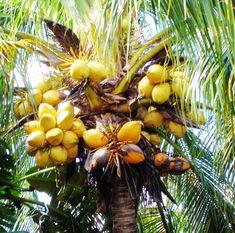 Op het strand 🏖 in de schaduw onder een boom vol kokosnoten?🌴 Weet dat er per jaar wereldwijd 150 mensen gedood  worden door en vallende kokosnoot. 🙈Dat is 10 x zoveel als dat er mensen gedood worden door een haai.😳  Heb het overigens nog nooit gehoord van slachtoffers op Curacao. 🇨🇼Vast goede bomen!🌴😁🏖 Great Vacations, Pumpkin, Outdoor, Outdoors, Pumpkins, Outdoor Living, Garden, Squash