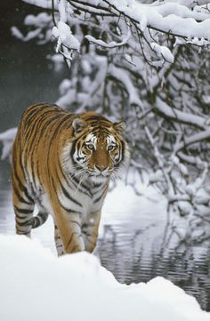 Siberian Tiger by Konrad Wothe
