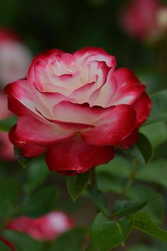 ✯ Rose...Beautiful...looks like what mine & Allan's rose would look like (roses from our wedding).  LOVE IT!! <3