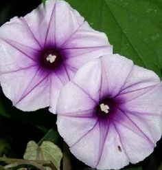 Lavender Moonflower (Moonvine)