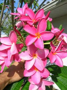 Plumeria rubra- (Pink with Yellow Throat Flower) Rooted