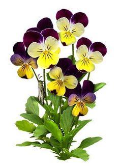 Johnny Jump Up Seeds, Helen Mount (Viola cornuta) Flowers Nature, Exotic Flowers, Flowers In Hair, Purple Flowers, Beautiful Flowers, Cactus Flower, Flower Seeds, Pansy Flower, Daffodils