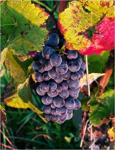 Richard Haughton - Wine - Musigny