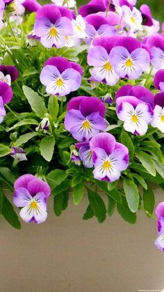 Pansies flowers - purple!