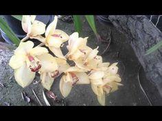 Cultivando orquídeas Parte 8: ¿Porqué no florecen mis orquídeas? || Orquiplanet - YouTube
