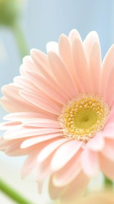 Blumen Daisy Buying The Engagement Ring The most widespread of engagement traditions is the groom pr Flower Backgrounds, Wallpaper Backgrounds, Iphone Wallpaper, Amazing Flowers, Pink Flowers, Beautiful Flowers, Gerbera Daisies, Sunflowers, Tulips
