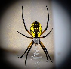 what a beautiful spider!!! I have multiple pictures of this spider its colors are bright and bold against the outside.
