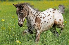 best appaloosa coats - Google Search
