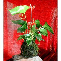 Kokedama Holiday Anthurium #kokadama #stringgarden #mossballs #cactus #succulent #livingart #indoorgardens #phoenix #floral #scottsdale #uptownfarmersmarket #phxflea #brazenchocolate #local #handmade #homedecor #corprategifts #holiday #desert #sonoran