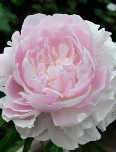 Peony 'Myrtle Gentry'. Paeonia. 3' tall. Blooms in May.