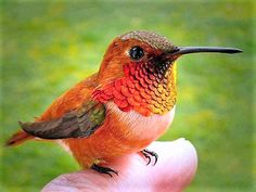 Bee Hummingbird found only in Cuba.