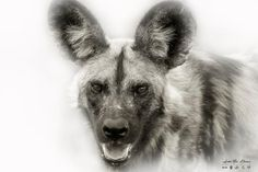 African Wild Dog portrait in high-key - Kruger National Park Photography Career, Hobby Photography, Wildlife Photography, Fine Art Photography, Animal Action, African Wild Dog, Male Lion, Kruger National Park, Wild Dogs