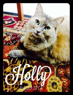 Holly's Personal Ad: I am Holly, a full-figured, flirtatious, single, spayed, dilute tortie looking for kind-hearted human for companionship, brushing, petting, toe nail clipping, and long naps in front of the fireplace. If you don't have a...