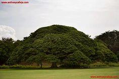 Black Monkeypod Tree, Moanalua Gardens, Honolulu, Hawaii