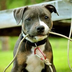 staffordshire bull terrier - i love staffies, they get bad press but everyone i've ever met has just been the sweetest
