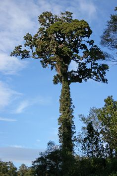 rimu tree - Google Search
