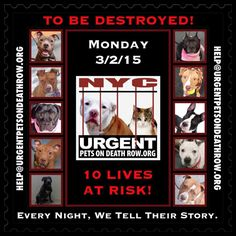 TO BE DESTROYED: 10 beautiful dogs to be euthanized by NYC ACC- MON 3/02/15. This is a VERY HIGH KILL shelter group. YOU may be the only hope for these pups! ****PLEASE SHARE EVERYWHERE!TTo rescue a Death Row Dog, Please read this: http://urgentpetsondeathrow.org/must-read/ To view the full album, please click here: https://www.facebook.com/media/set/?set=a.611290788883804.1073741851.152876678058553&type=3
