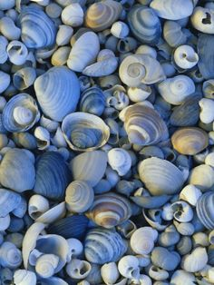 Shells of Freshwater Snails and Clams on Shore of Bear Lake, Utah, USA Photographic Print by Scott T. Shell Beach, Ocean Beach, Ocean Art, Wyoming, Gravure Illustration, Utah Usa, Clams, Belle Photo, Under The Sea