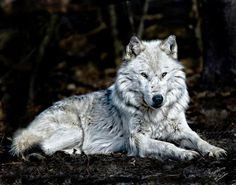 I love the Silver Wolf but I am a Black Wolf and my name is Running Rainbow on facebook ... check me out and if you love wolves join our pack ... HOWLS