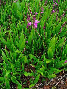 Bletilla striata Hyacinth Orchid, Urn orchid, Hyacinth Bletilla, Hardy Orchid, Chinese Ground Orchid