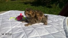 Pui pisica bengal - Brown (black) spotted tabby
