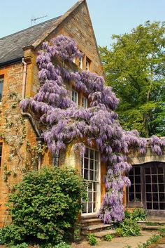 Coton Manor, Wisteria in bloom. Northamptonshire b...