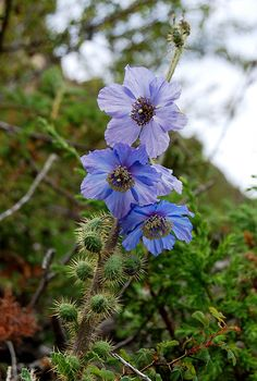 Meconopsis zhongdianensis - BO-15-135 - Click Image to Close