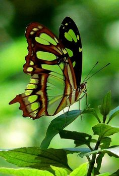 Malachite Butterfly (Siproeta stelenes) Green Butterfly, Butterfly Flowers, Beautiful Butterflies, Butterfly Kisses, Butterfly Wings, Cool Photos, Beautiful Pictures, Color Fly, Butterfly Pictures