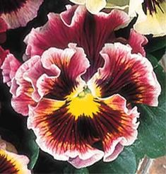 Ruffled Pansy, 'Can Can Colette'