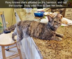 Tumblr | cats | Roxy knows she's allowed on the barstool, and not the counter. Roxy also likes to test her limits.