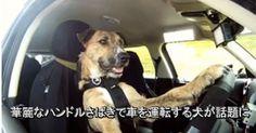 華麗なハンドルさばきで車を運転する犬が話題に | @Atsuhiko Takahashi (アットトリップ)  (via http://attrip.jp/128922/ )
