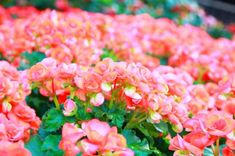 11 plantas que florecen todo el año - Begonia Garden Inspiration, Hydrangea, Exterior, Flowers, Portulaca Grandiflora, Gardening, Mango, Landscaping Plants, Gardening Tips