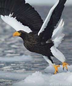 The Steller's Sea Eagle (Haliaeetus pelagicus) is a large bird of prey in the family Accipitridae. It is an eagle that lives in coastal northeastern Asia and mainly preys on fish and water birds Pretty Birds, Love Birds, Beautiful Birds, Animals Beautiful, The Eagles, Photo Aigle, Steller's Sea Eagle, Eagle Bird, Nicolas Vanier
