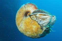 Rare, Hairy Nautilus Spotted For The First Time in 30 Years IFLScience  photo credit: Allonautilus scrobiculatus off the coast of Ndrova Island in Papua New Guinea. Peter Ward