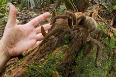 The goliath bird-eating spider: Nothing to be afraid of but, it sure looks scary.