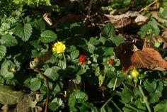 #39 Schijnaardbei is een uit Zuidoost-Azië afkomstige plant. Deze soort wordt in tuinen als bodembedekker aangeplant. Schijnaardbei is een echte woekeraar; de zaden worden door vogels verspreid maar ook als tuinafval komt deze soort overal terecht. In #Zevenaar is Schijnaardbei overal verwilderd te vinden. (perken, gazons, singels en bos) Foto uit #Giesbeek. Dinsdag 19 november 2013. via twitter @Zevenaar_flora.