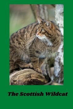 Great Scottish Canvas/ WWF Scotland/ World Wildlife Fund Project/ Scottish Wildcats/ Wildcats/ Discover more about the WWF Great Scottish Canvas Project, and why I chose to write about the endangered Scottish Wildcat... Scotland, Wildlife, Novels, Canvas, Animals, Blog, Tela, Animales, Animaux