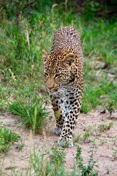 Leopard by Kirsten Kommers