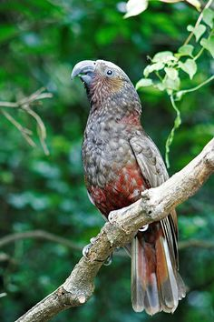 Kaka (Nestor meridionalis) is a large species of parrot of the superfamily Strigopoidea found in native forests of New Zealand.  It is endangered and has disappeared from much of its former range.