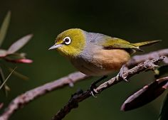 Silvereye (Zosterops lateralis). Found in Australia and New Zealand, this small bird feeds on insects, berries, fruit, & nectar. Photo by oystercatcher, via Flickr.