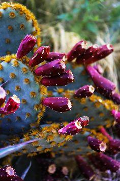 Dans le jardin Los Garambullos près de San Miguel de Allende, au centre du Mexique, les paysagistes ont créé un jardin où opuntias, graminées (stipa tenuifolia) et divers aloès africains et agaves du Texas se protègent mutuellement du soleil et de la chaleur / © Marie Taillefer