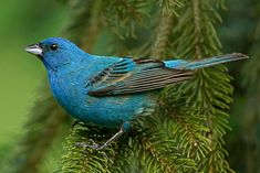 Indigo Bunting returns with Goldfinch to our garden each Spring.  *tiny blue wonder*