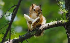 Animal 24: Nice Squirrel Wallpaper ~ agamaR
